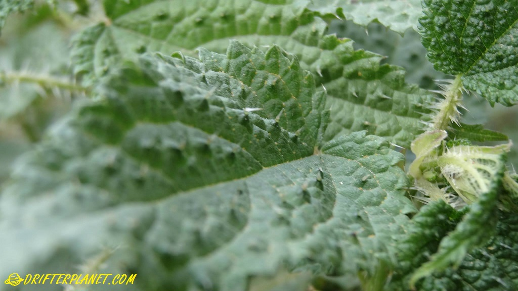 Stinging Nettle in Himachal