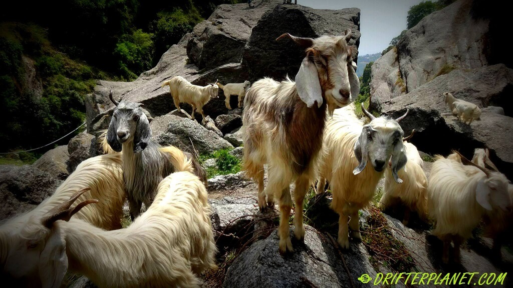 The goats around the waterfall