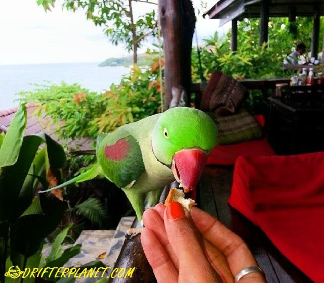 Parrot at High Life Haad Yao