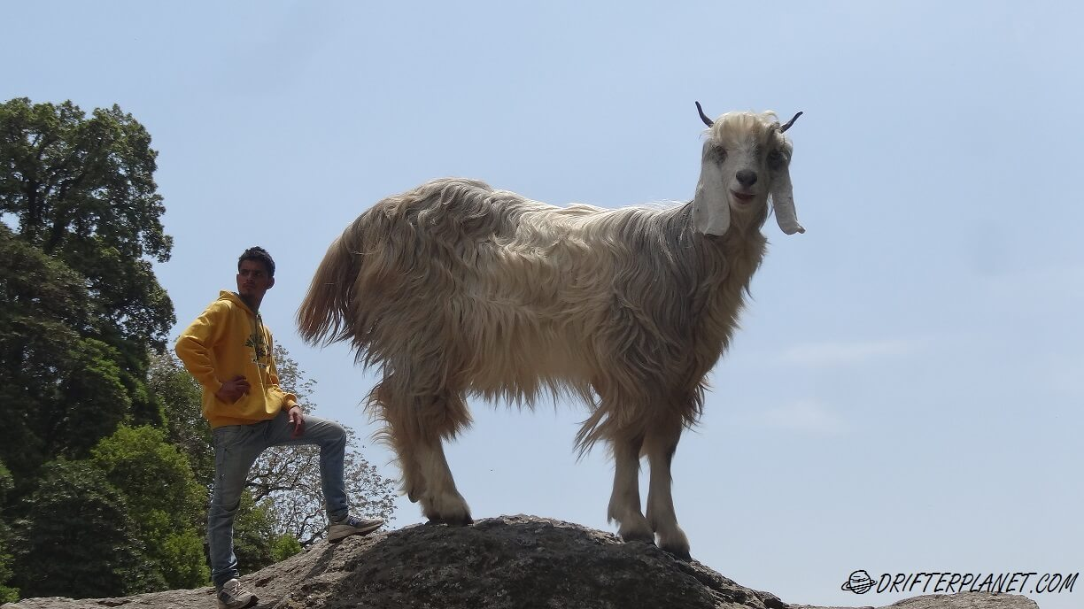 Giant Goat, Tiny Human :) Goat Optical Illusion