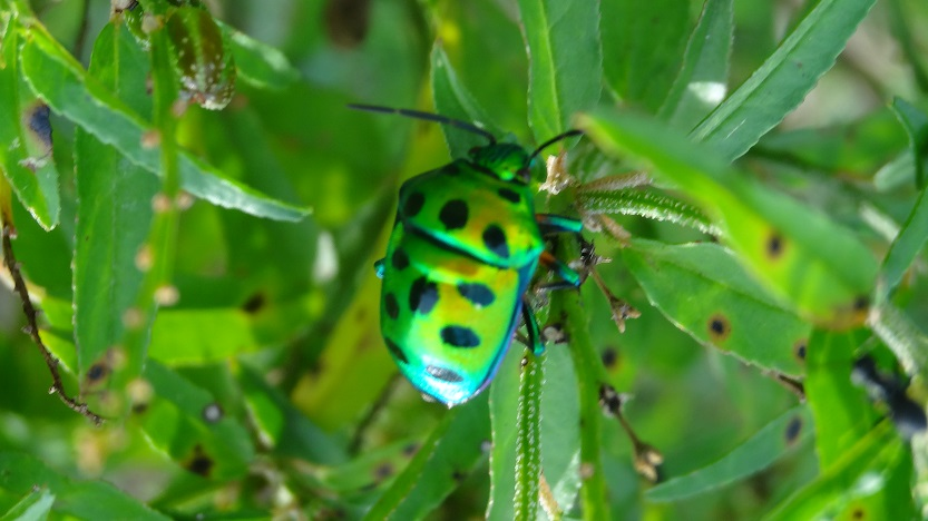 Shiny Green Bug in Hampi