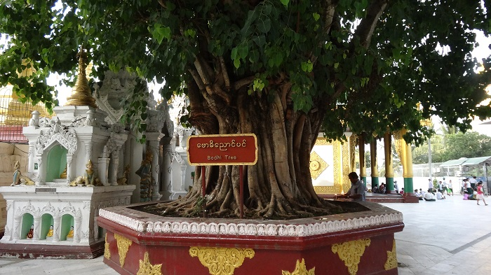 Bodhi Tree of Shwedagon Pagoda