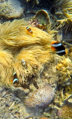 Nemo - a clownfish family in Siete Pecados marine park in Coron, Palawan