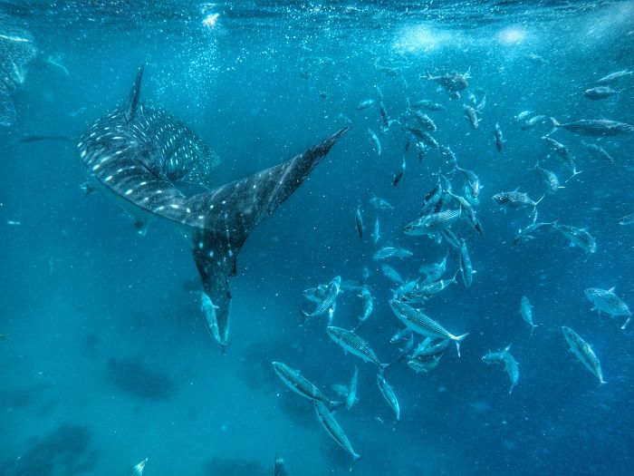 A whale shark in Oslob, Cebu