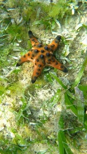 Underwater - Starfish on Panglao Island, Philippines