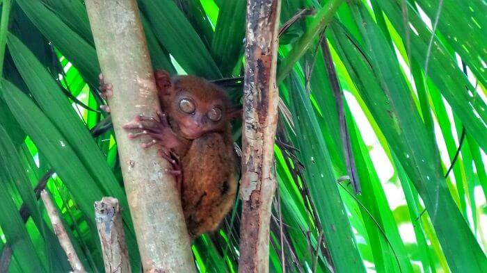 A cute little Tarsier in Bohol