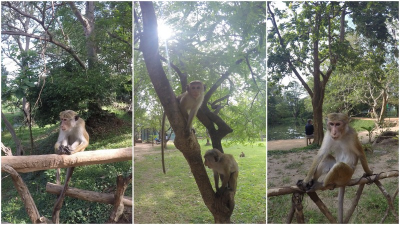 Get close to the monkeys - things to do in Sri Lanka