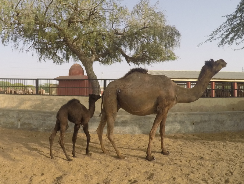 A baby camel with mother in Bikaner's Camel Breeding Farm