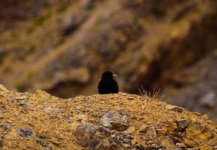 Yellow Billed Chough (the Alpine chough) - Ladakh Road Trip