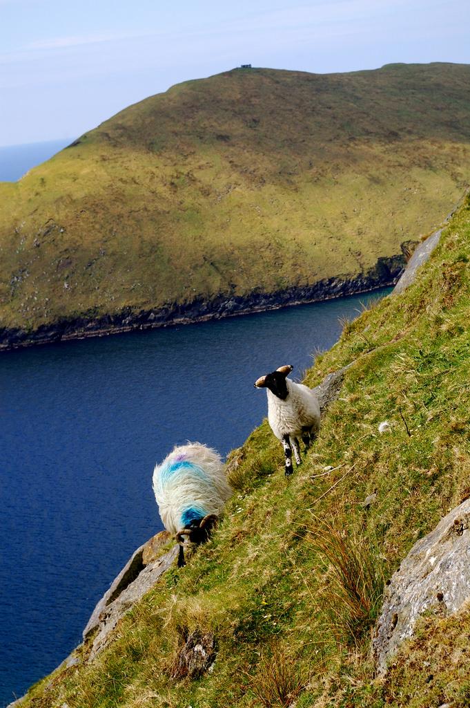 Sheep on Mount Croaghaun Achill Island, Ireland