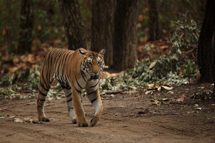 Tigress Princess in Kanha National Park, MP
