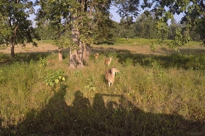 Deer herd inside Kanha National Park, MP