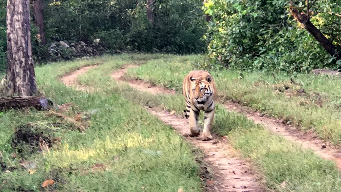 Tiger sighting in Kanha National Park, MP