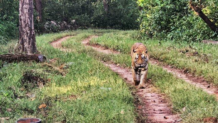 Tiger Safari in Kanha National Park, Madhya Pradesh