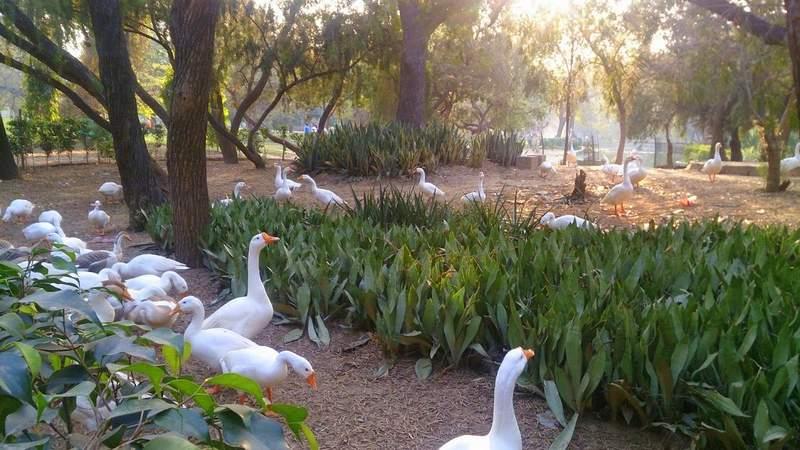Swans and Ducks in Lodhi Garden - Delhi