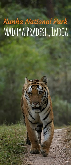 Tiger Safari in Kanha National Park, Madhya Pradesh, India