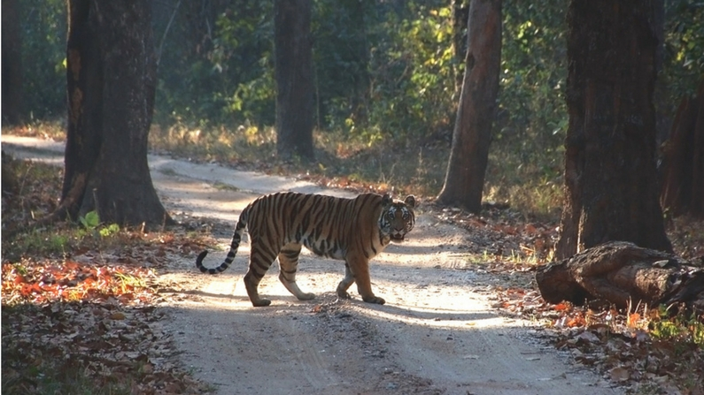 Tiger Safari in Kanha National Park in Madhya Pradesh, India