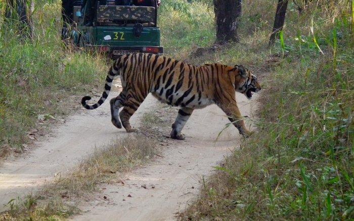 Tiger Safari in Kanha Tiger Reserve, Madhya Pradesh