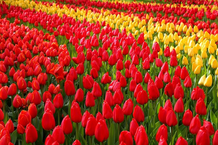 Keukenhof Garden in Lisse near Amsterdam - Netherlands Itinerary One Week