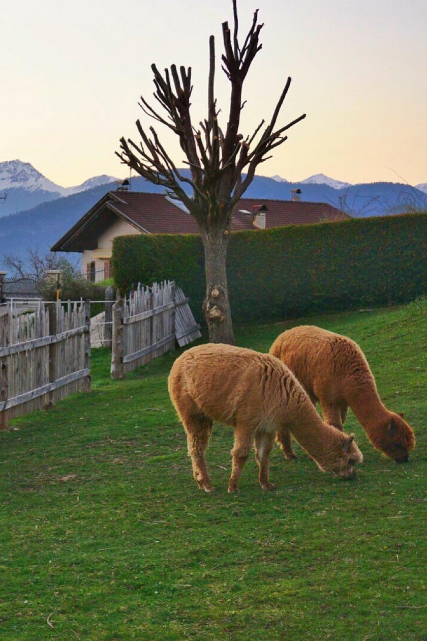 Alpacas in Tavon, Val di Non, Trentino, Italy