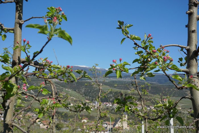 Pink Apple Blossoms in Val di Non, Italy