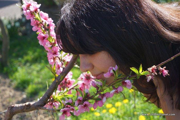 Val di Non has Cherry Blossoms too - Trentino, Italy