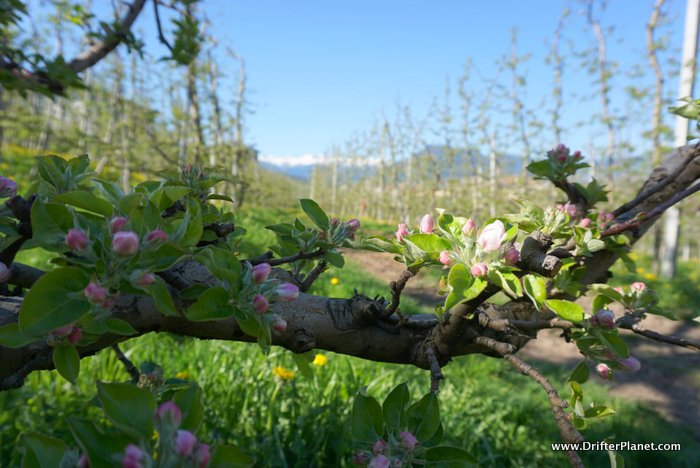 A traditional Renetta Canada Apple tree with new blossoms in Ville d'Anaunia - Val di Non, Italy