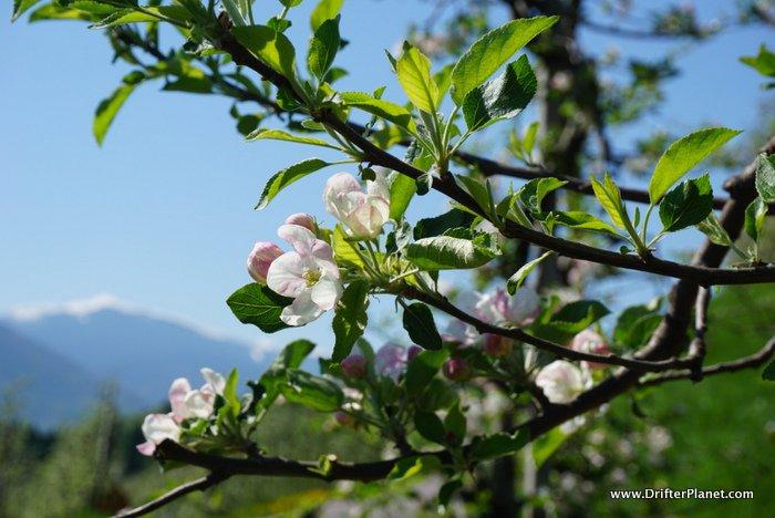 Apple Blossoms in Val di Non, Trentino, Italy