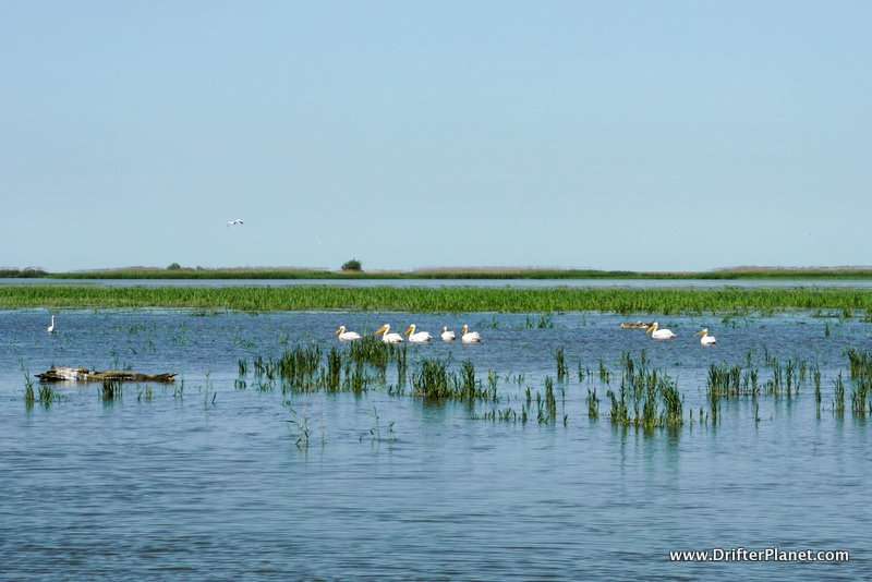 A row of Pelicans - Bird Watching in Danube Delta, Romania
