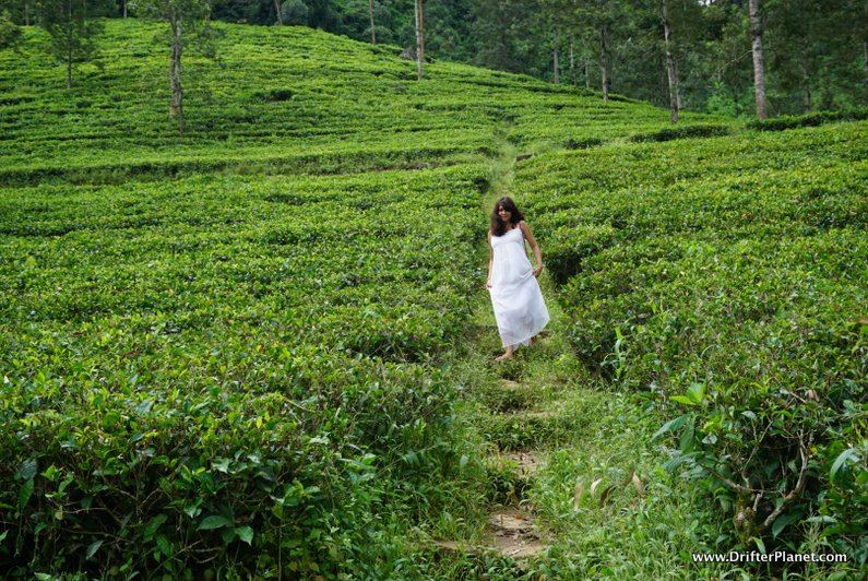 A tea estate in Nuwara Eliya, Sri Lanka