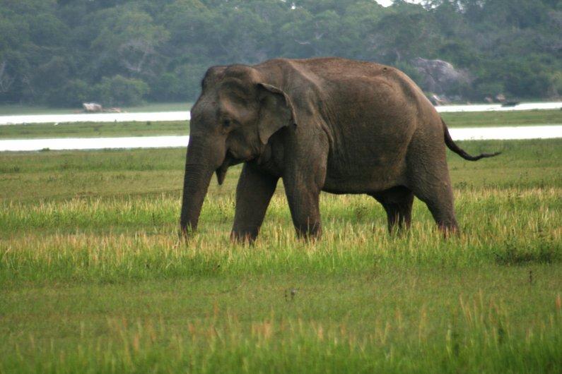 Elephants at Kumana National Park near Arugam Bay, Sri Lanka