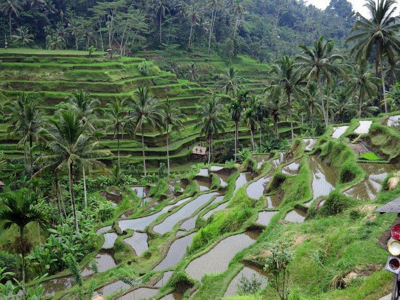 Lovely Rice Terraces of Ubud, Bali, Indonesia