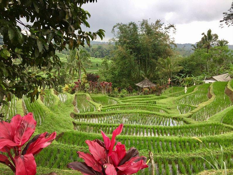 Rice fields in bali - Ubud