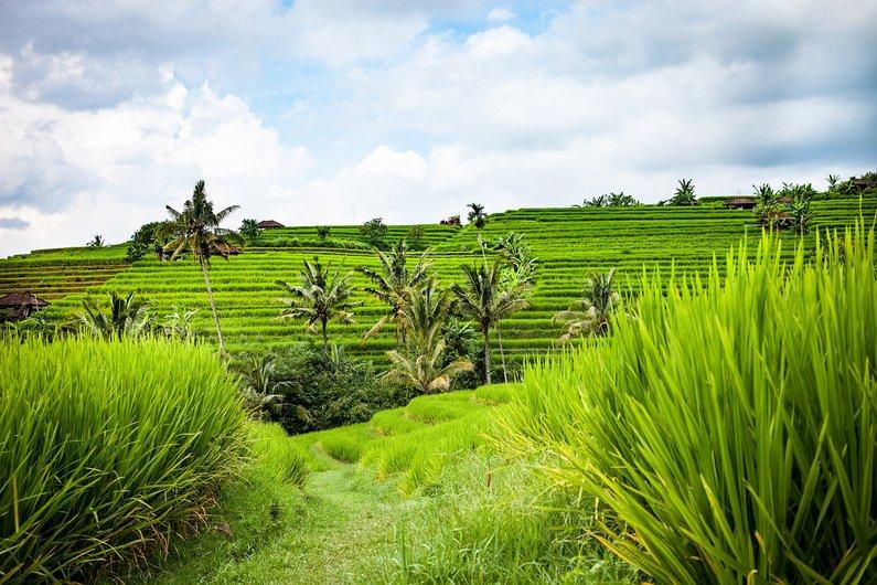 Super Green Rice terraces in Bali, Ubud - Indonesia