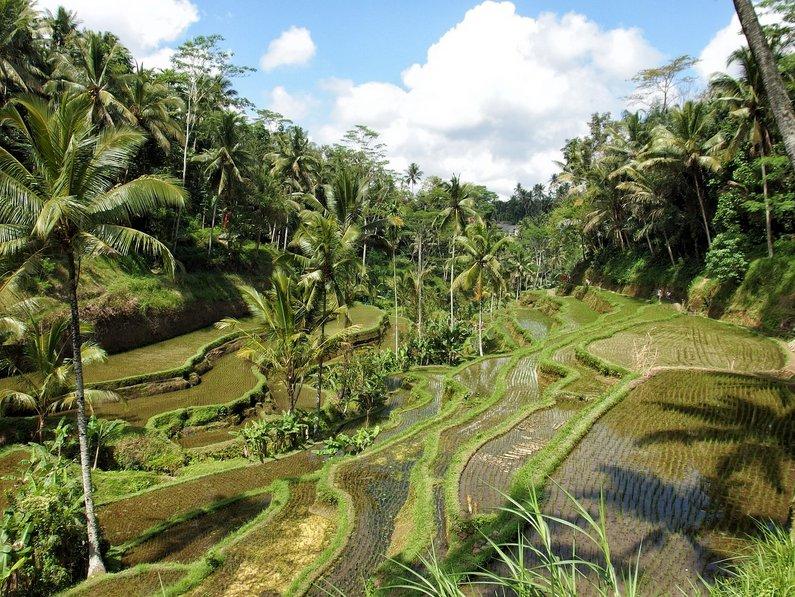 Ubud Rice Fields, Bali