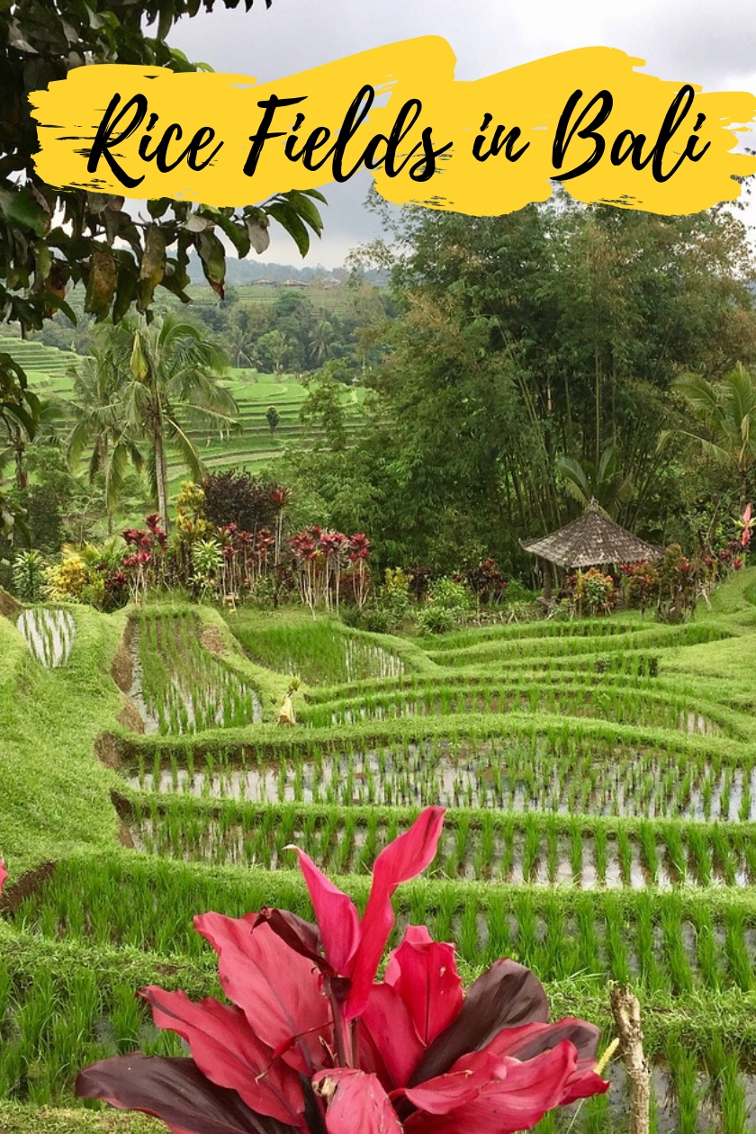 Ubud Rice Paddies [and Around]- the Famous Rice Terraces in Bali, Indonesia
