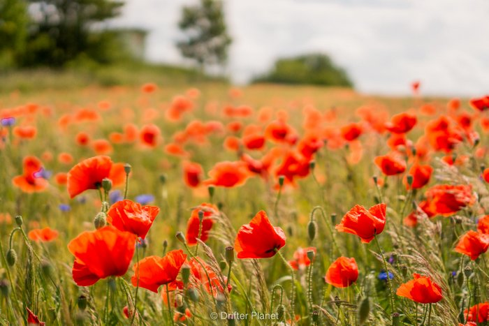 Wild Poppy field in Jasmund National Park, Germany