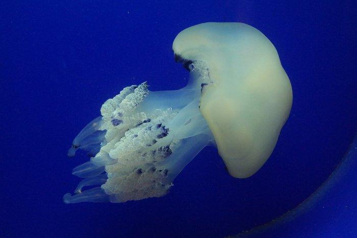 Jellyfish inside Pula Aquarium