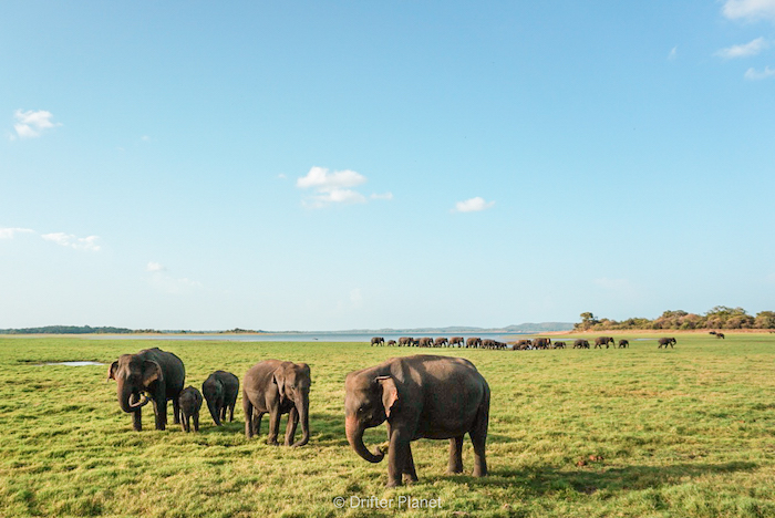 Elephant Gathering in Sri Lanka
