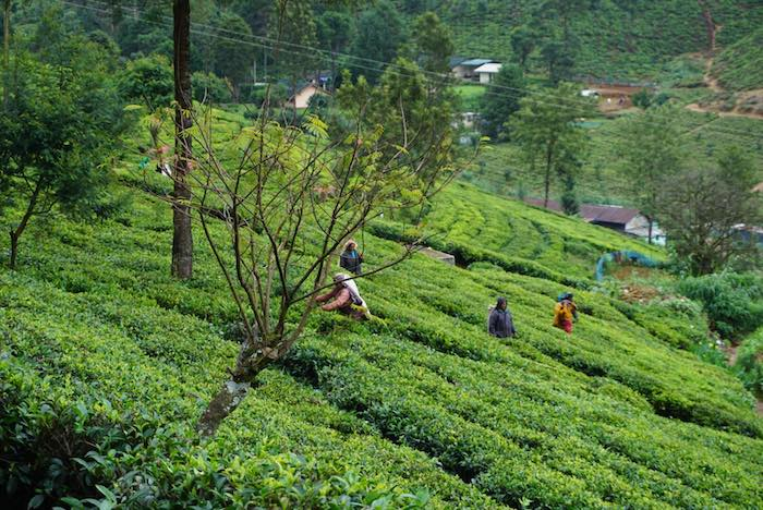 Plucking Tea Leaves in Nuwara Eliya, Sri Lanka